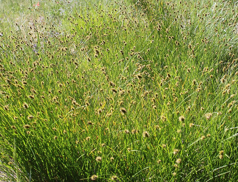 grass rs